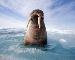 Atlantic Walrus!