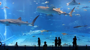 Okinawa Churaumi Aquarium - 2 million gallons of water and some amazingly huge fish