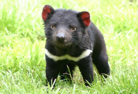 cute little Tasmanian Devil