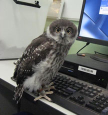 ZooBorn: Ripley, the Barking Owl chick