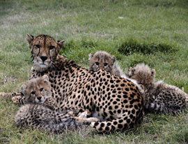 ZooBorns: a Cheetah Mom and her family