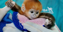 ZooBorn: world's cutest Francois Langur