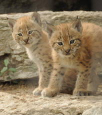 ZooBorns: Lynx cubs