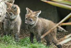 ZooBorns: Maned Wolf pups