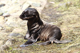 ZooBorn: Sea Lion pup