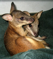 ZooBorn: Wallabie joeys