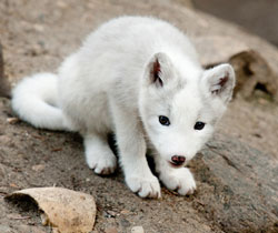 ZooBorn: arctic fox puppy