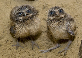 ZooBorns: baby burrowing owls
