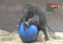 ZooBorn: baby elephant with a blue ball