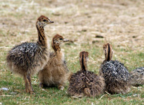 ZooBorns: baby ostriches!