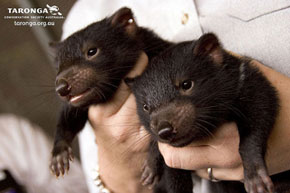 ZooBorns: little Tasmanian Devils