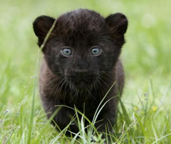 ZooBorn: panther cub!
