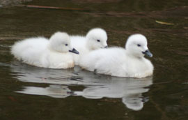 ZooBorns: black-necked swan cygnets