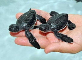 ZooBorns: tiny sea turtles