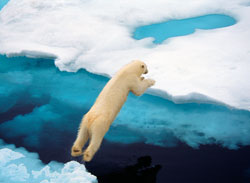 bear diving into the arctic sea
