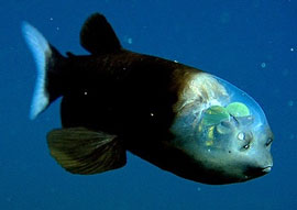 the deep-sea fish with the transparent head