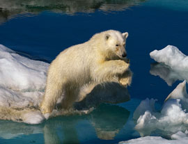 leaping polar bear (click to enbiggen)
