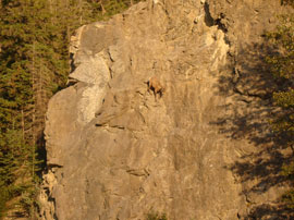 mountain Yak - hang in there! (click to enbiggen!)