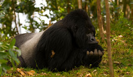 the thinker... the very definition of a silverback