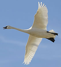 white swan flying