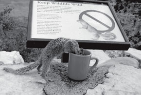 Squirrel drinking coffee