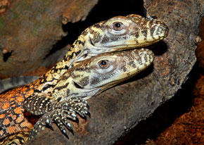 ZooBorns: Komodo Dragon hatchlings