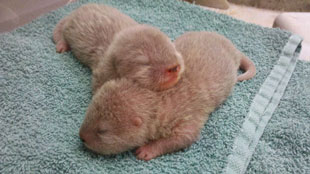 ZooBorns: Santa Barbara's baby otters