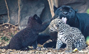 Zooborns: black and white Jaguar twins!