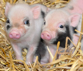 ZooBorns: miniature piglets
