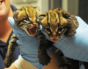 ZooBorns: Ocelot twins