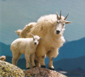 kid of the day: baby mountain goat
