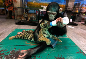 chimp feeds tiger cub