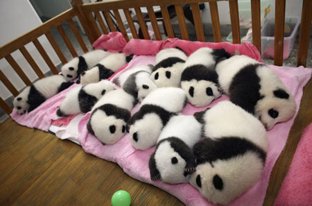 Giant Panda cubs, taking a nap :)