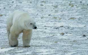 Google's latest street view: polar bears