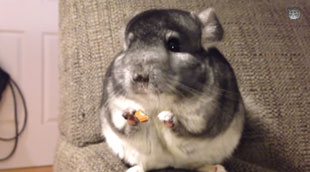 Chinchilla eats almond