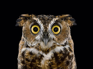 owl portrait, by Brad Wilson