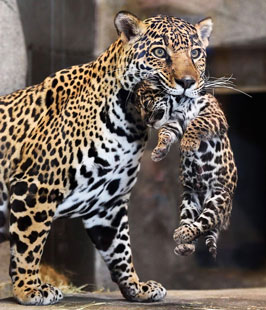 Jaguar Cub is a mouthful